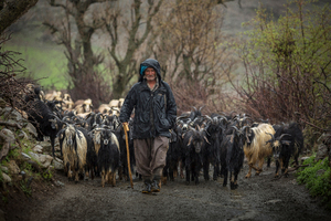 Man Shepherd  shoresh mobasheri