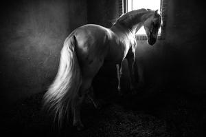 Horse  Ramesh Hoseini lahiji