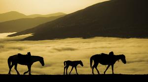 horses  shoresh mobasheri