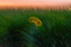 Sunflower only  majid hojati