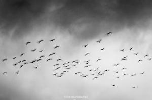 Flying Birds  shoresh mobasheri
